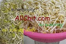 How to Sprout Mung Beans at Home (many methods, no rinsing and no spraying everyday)